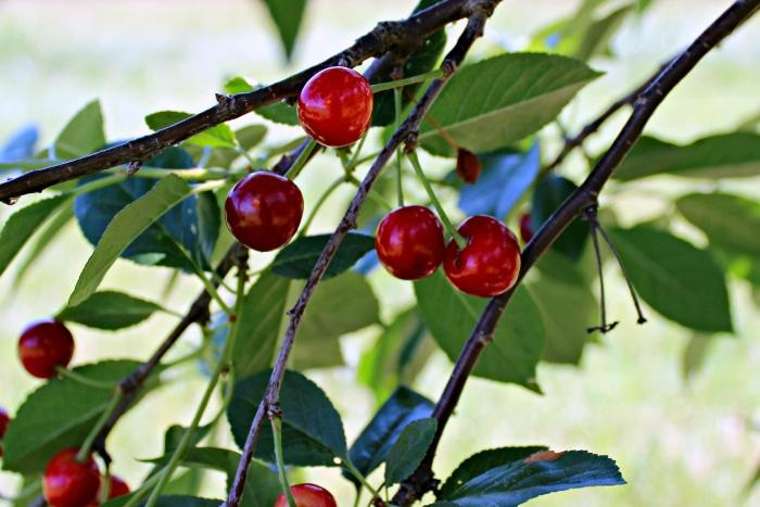 cherries on the cherry tree