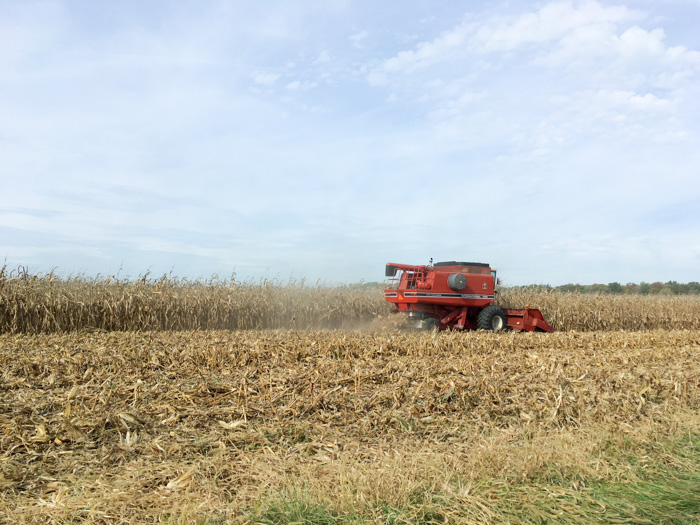 combine in corn field harvesting