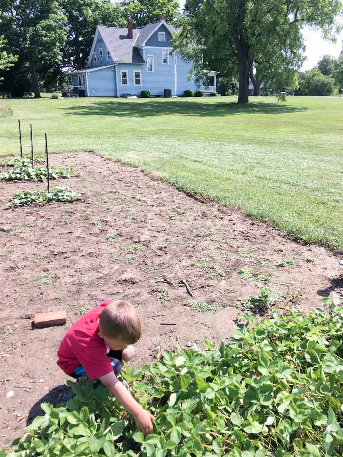 picking strawberries in garden with farmhouse in background