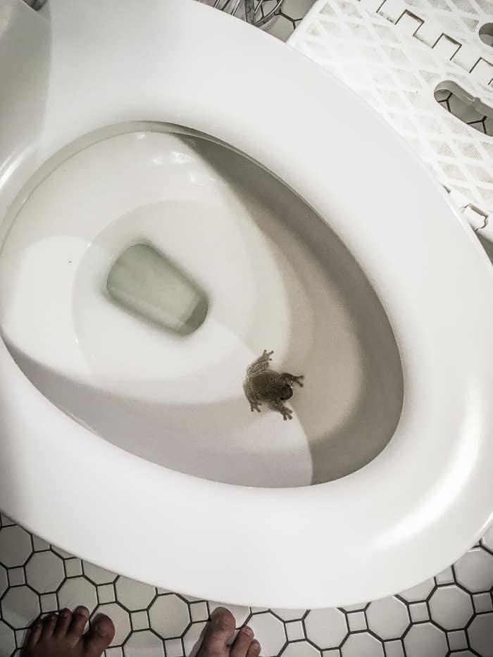 frog in toilet