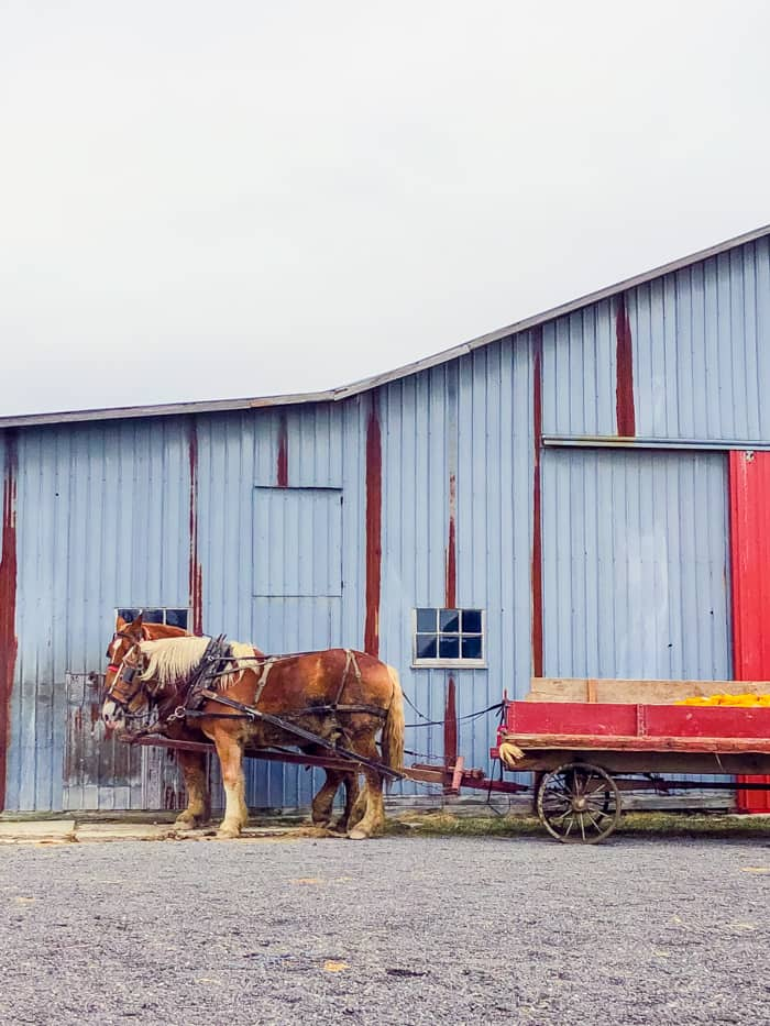 Amish horse in front of barn