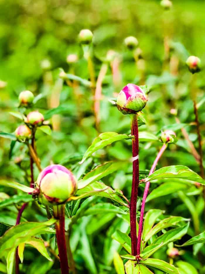 buds of peonies