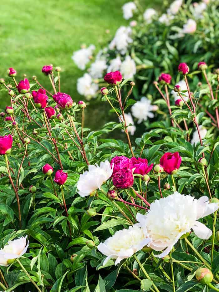 peonies blooming