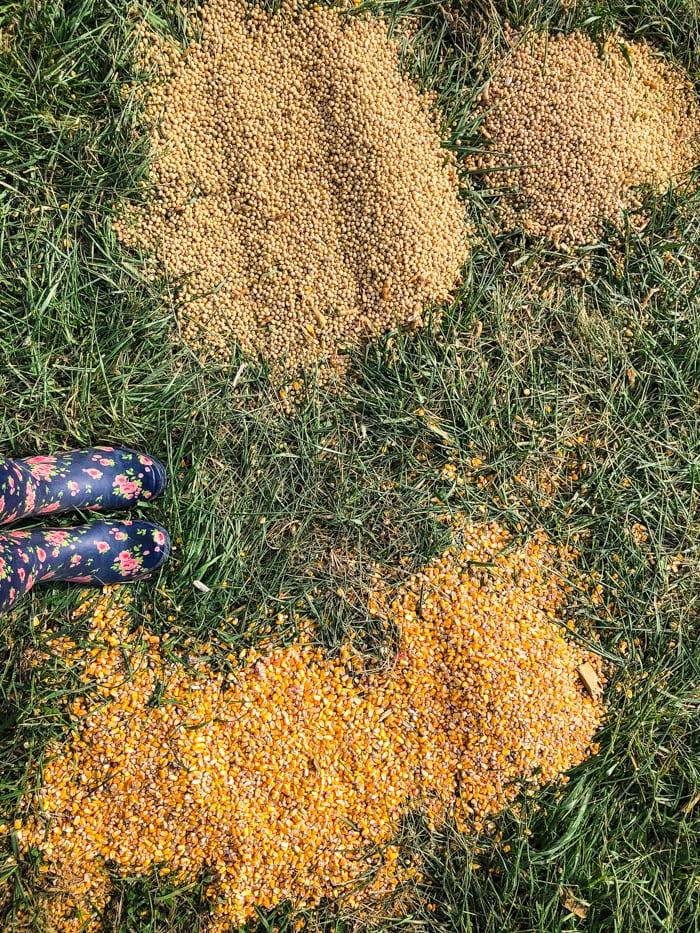 corn vs soybeans