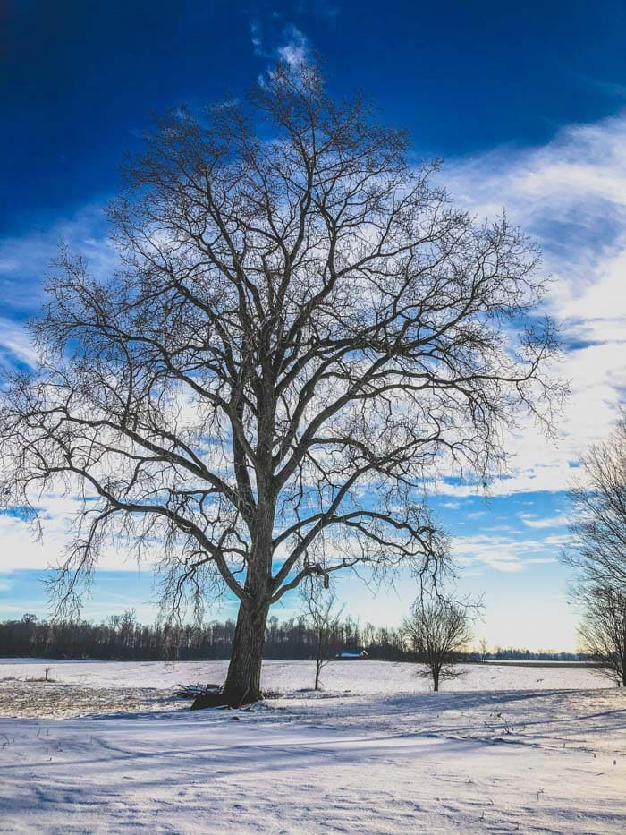 big tree with snow
