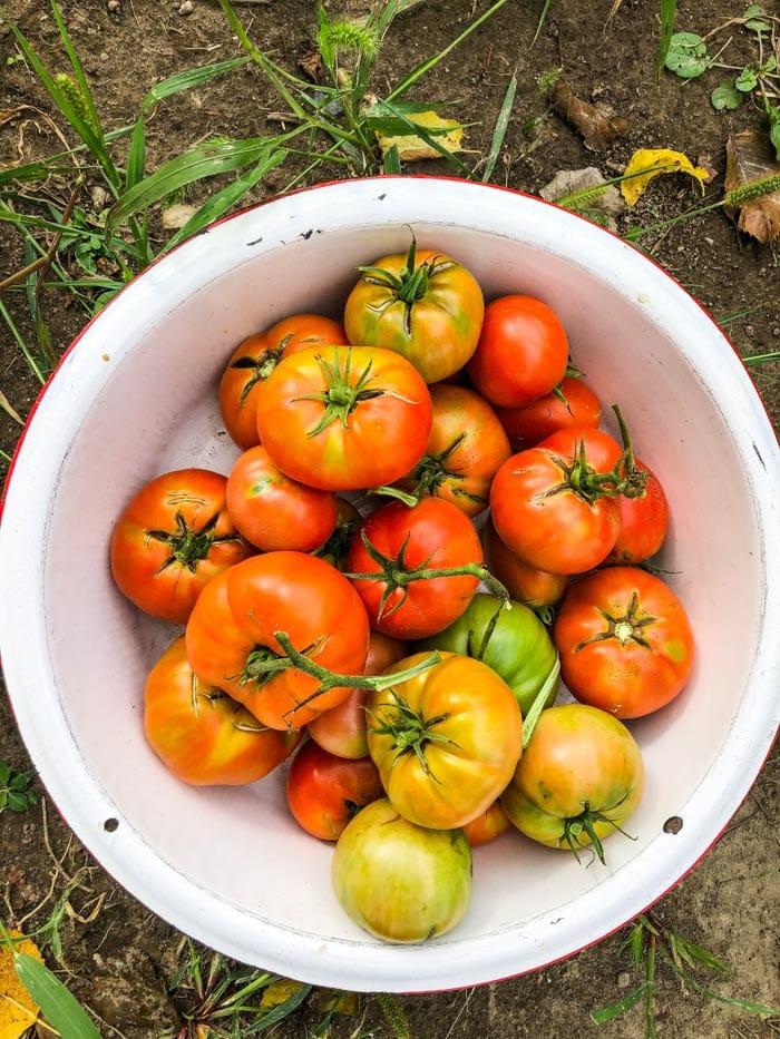 garden tomatoes in white bowl